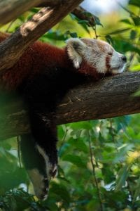 Red panda sleeping